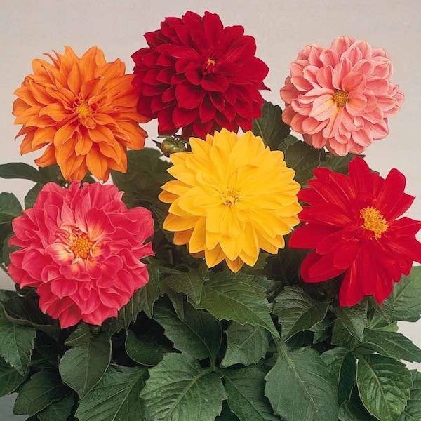 Dahlia Figaro Mix Flowers Annual Flowers Flower Seeds Plants