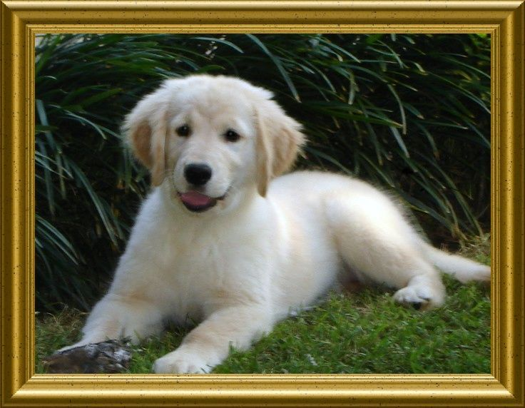 Akc Golden Retriever Puppies For Sale In Covington Louisiana