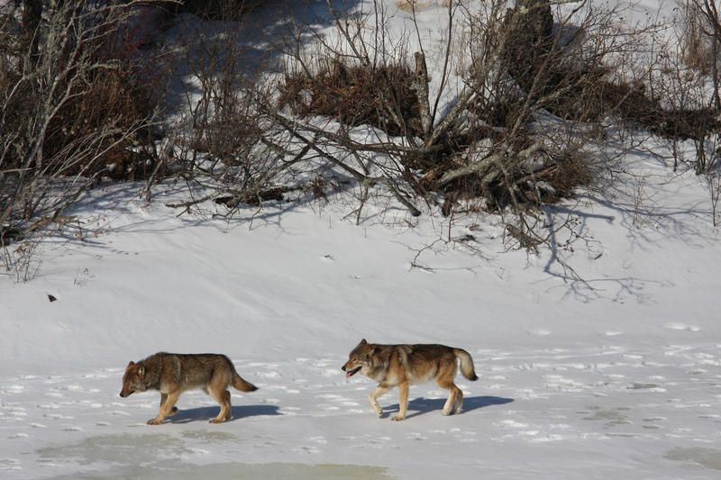 WOLVES : Photo