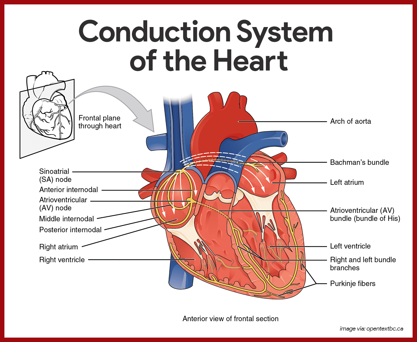 Heart Diagram Conduction System Anatomy And Physiology Wiring On Pinterest Cardiovascular Rh Com Black White