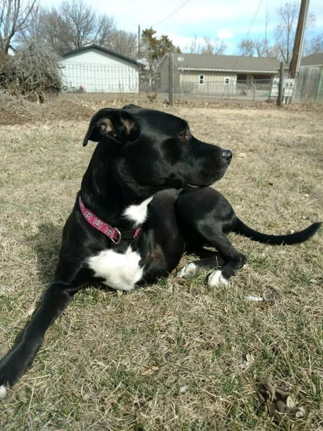 Adopt Roxie On Pitbull Terrier Bull Terrier Mix Dogs