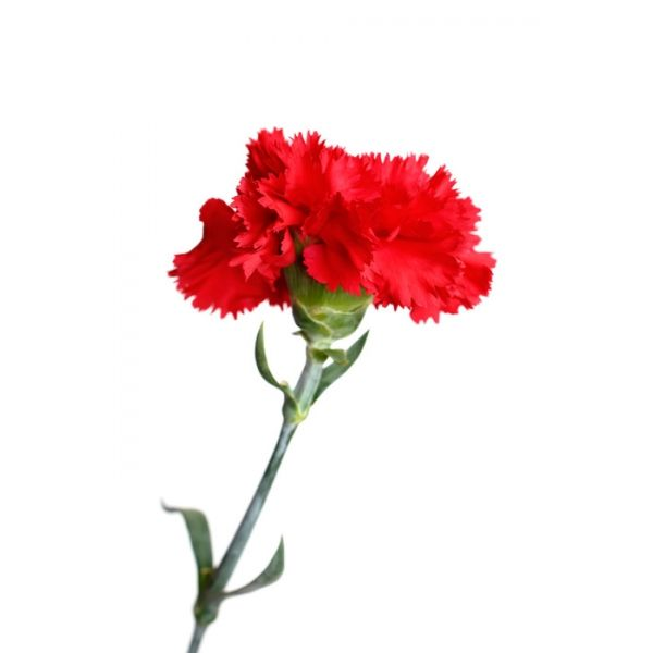 Colors Photo Beautiful Red Carnation In 2020 Red Carnation Carnations Flowers