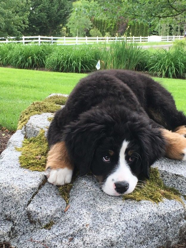 This Berner who has the puppy-dog look down pat.