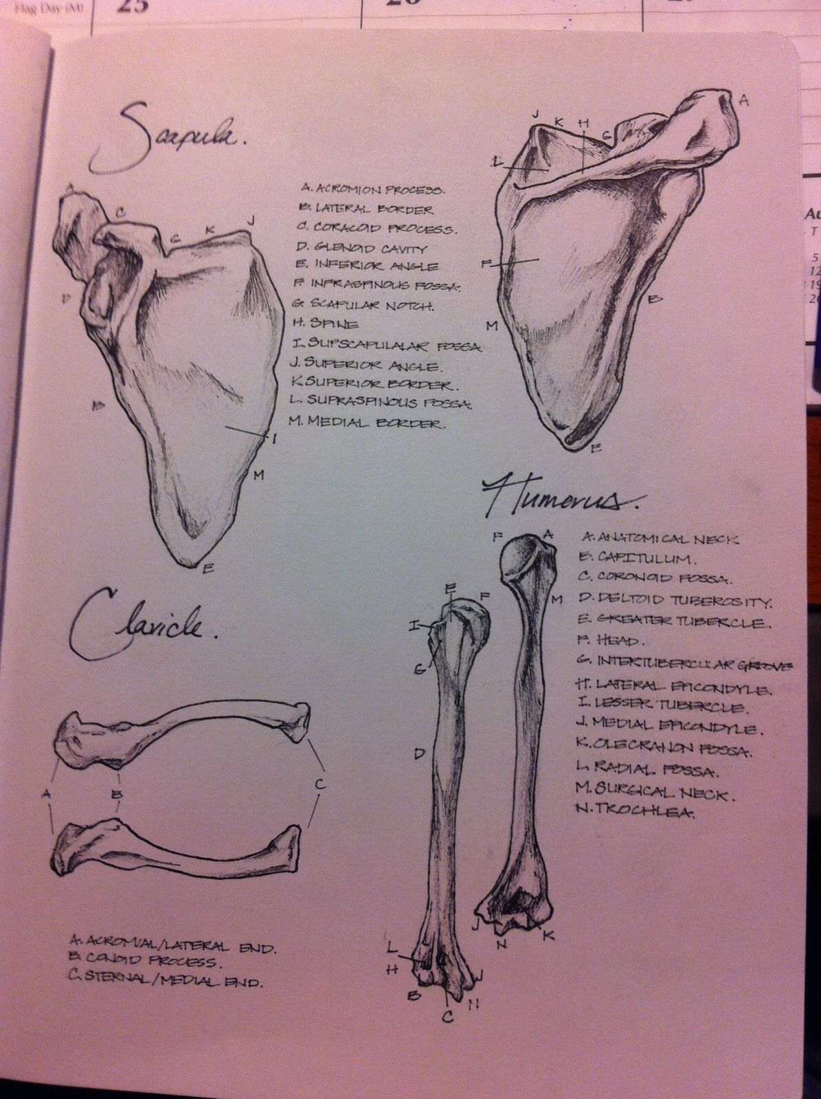 Anatomy notes | Anatomía, Medicina y Apuntes