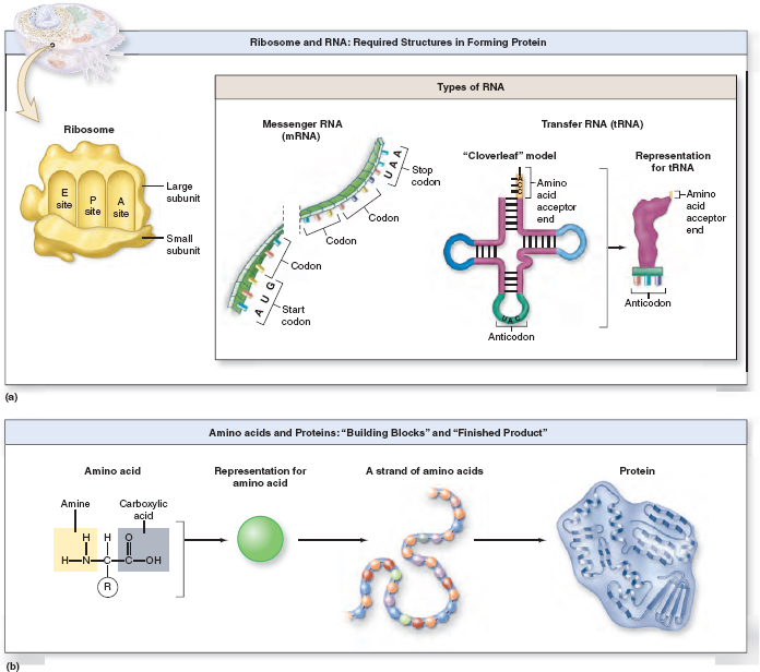 The Process Of Translation Uses The Information In The Mrna