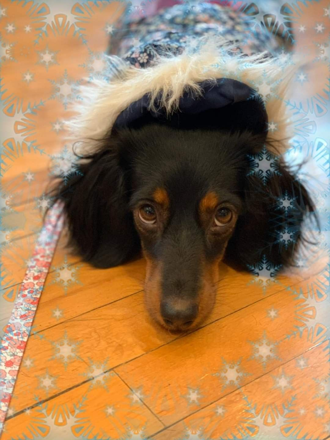 Pin By Dachshund Central On Miniature Dachshunds In 2020 Dachshund Puppy Miniature Dachshund Pictures Dachshund Puppies