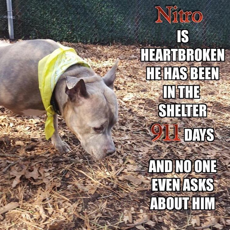 2 27 19 Nitro Is Yet Another Forgotten Heartbroken Soul Who Was Picked Up As A Stray By A Good Samaritan In August Of 2016 Dog Adoption Training Your Dog Dogs