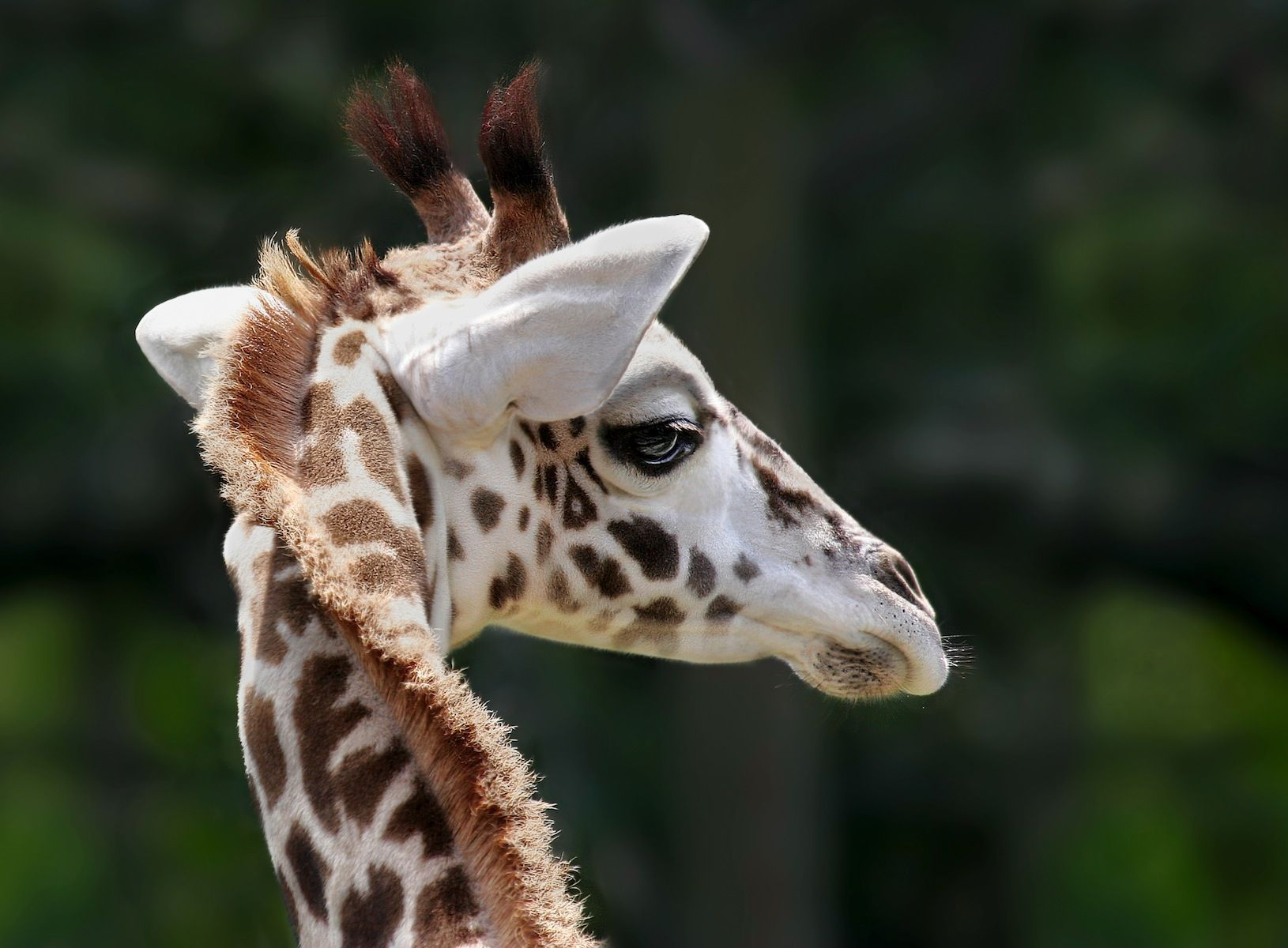 Free Download High Resolution Baby Giraffe Face HD Wallpaper For IPad IPhone Mobile Device And Desktop