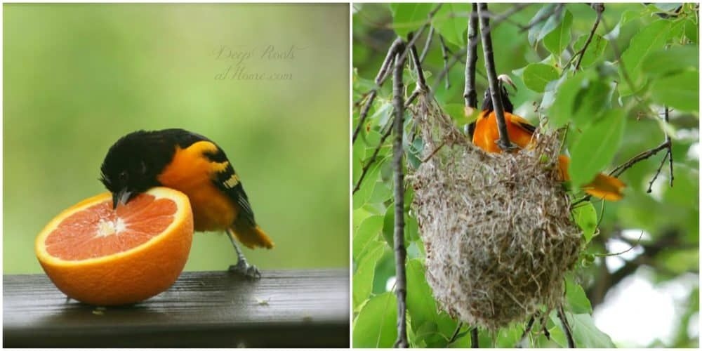 Attracting and feeding the orioles in your neighborhood