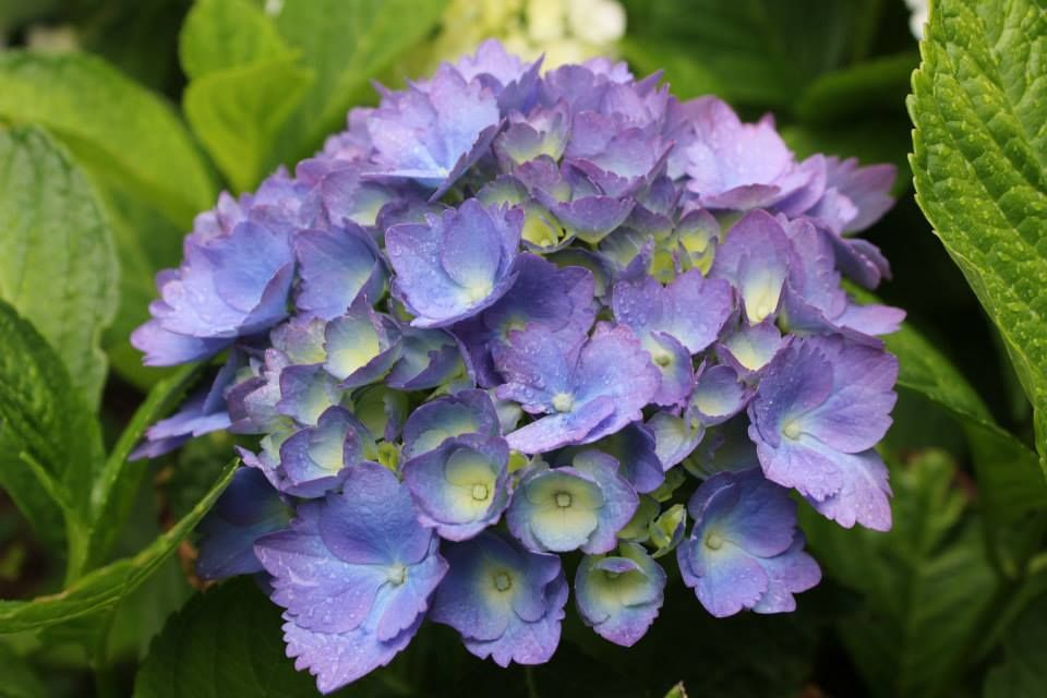 Blue Danube Hydrangea Hydrangea Hydrangia Flowers