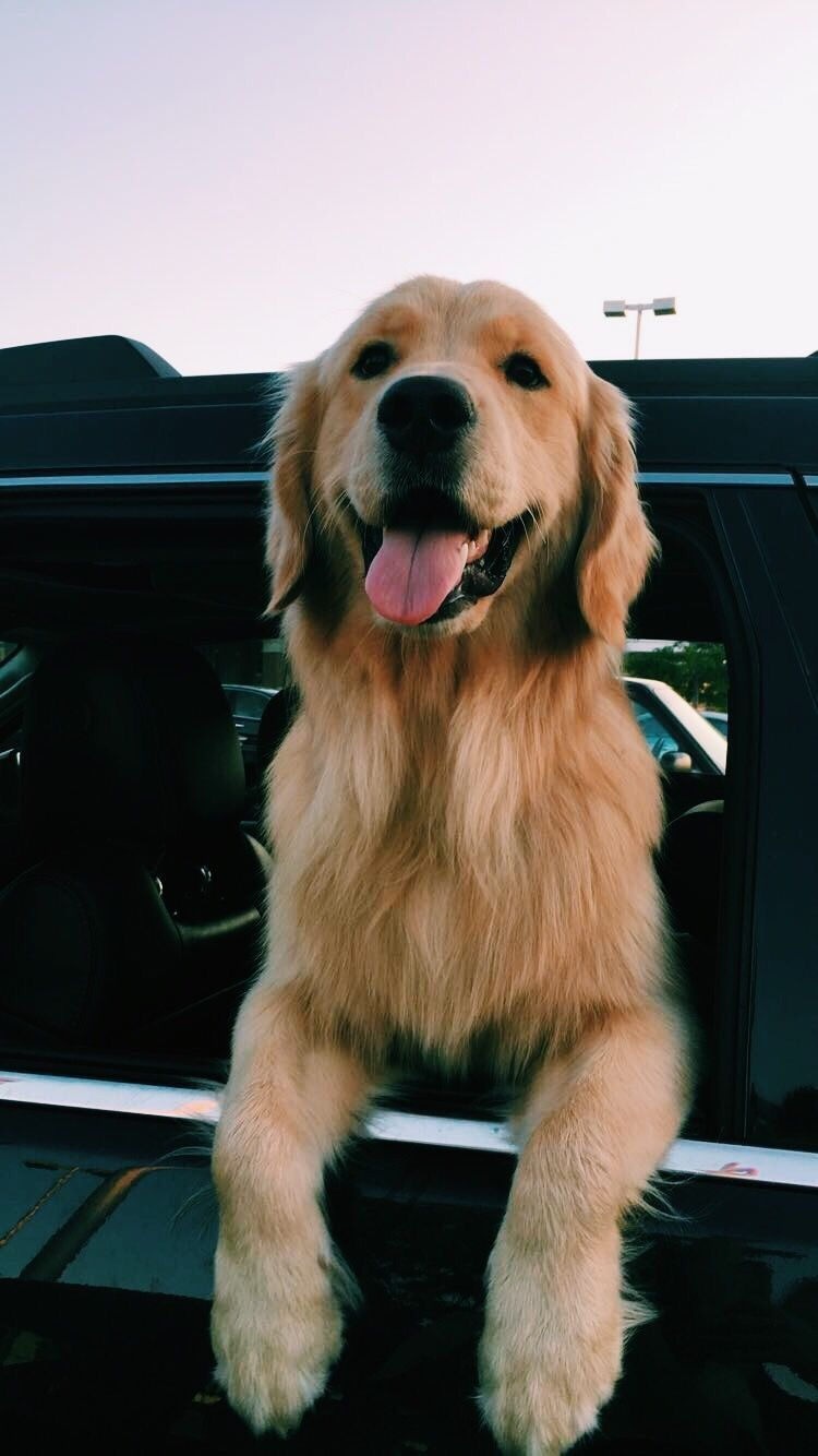 Pinterest // @brookeleeG | puppy love ⋆ | Dogs, Retriever