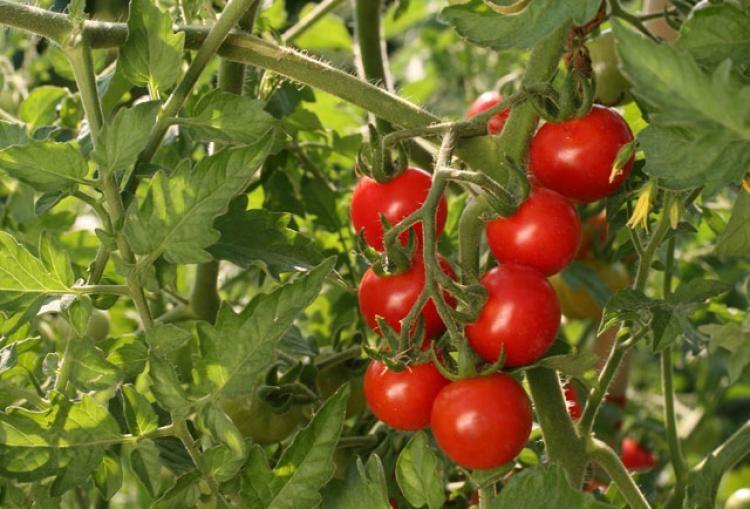 Comment réussir la culture de la tomate-cerise : conseils ...