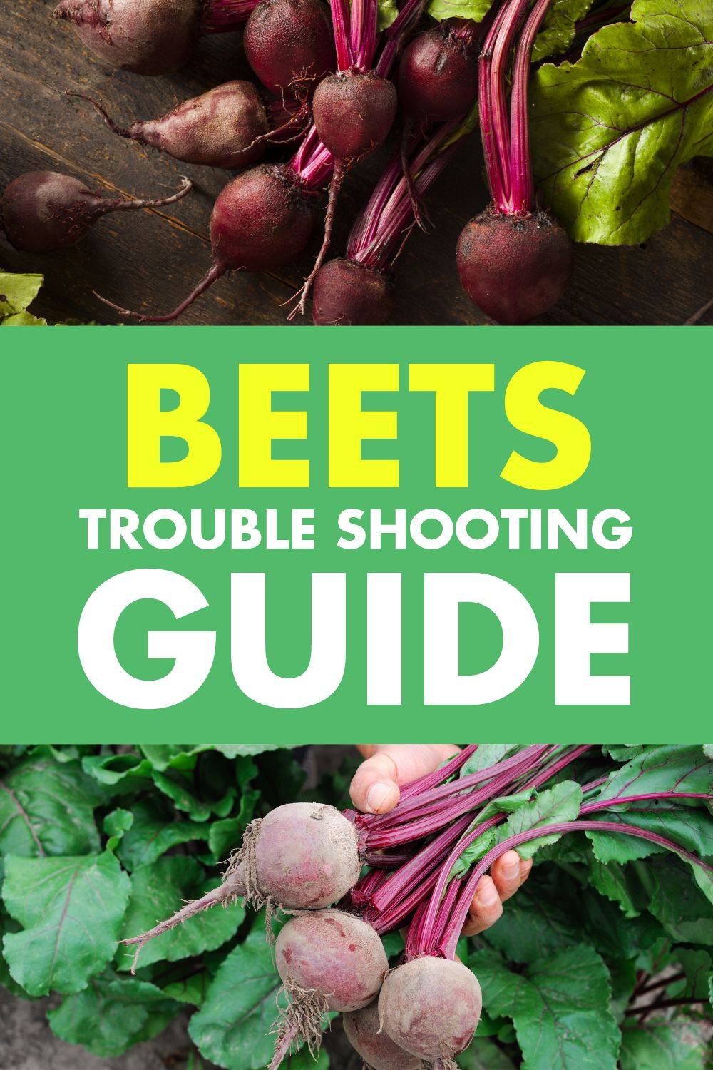Beets Trouble Shooting Guide Luv2garden Com Growing Beets Beets Backyard Vegetable Gardens