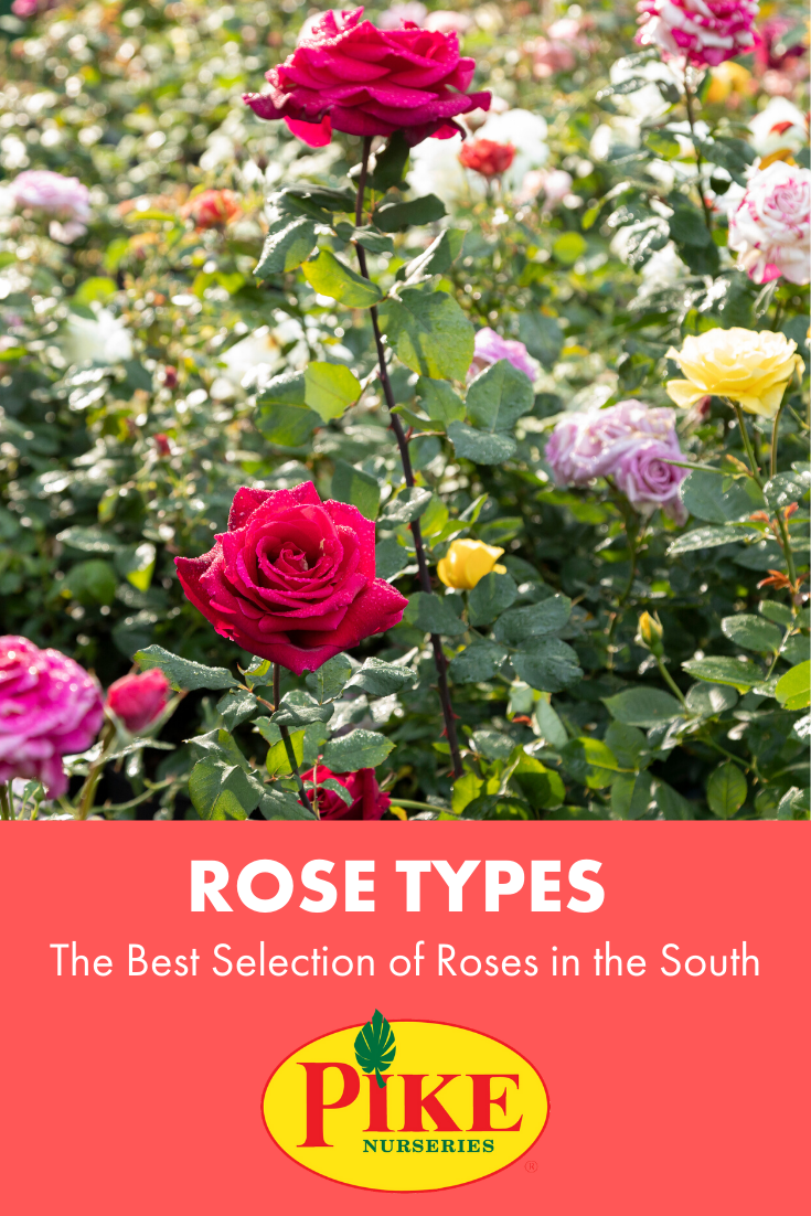The Best Selection Of Roses In The South Types Of Roses Rose Growing Roses