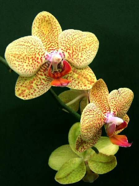 A Modern Spotted Yellow Phalaenopsis Phalaenopsis Orchid Care Phalaenopsis Orchid Orchid Care