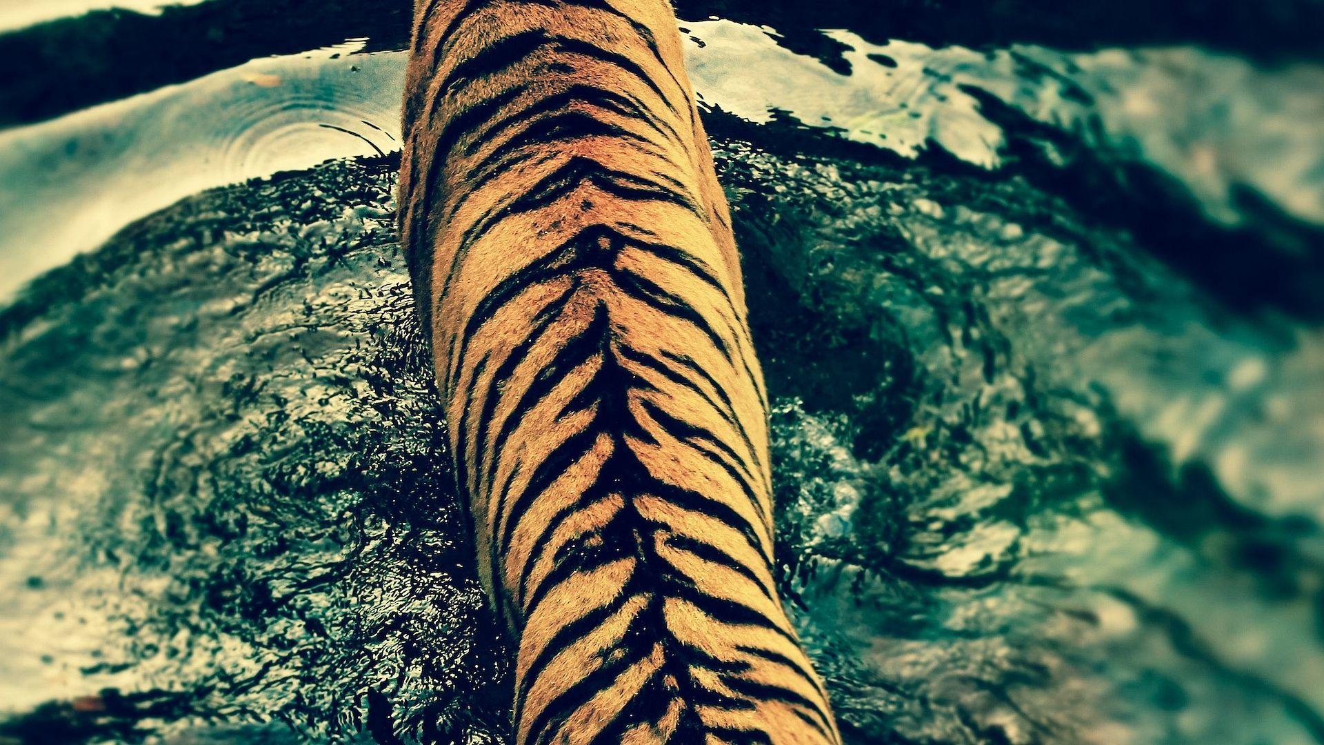 HDR Tiger Walking on Water