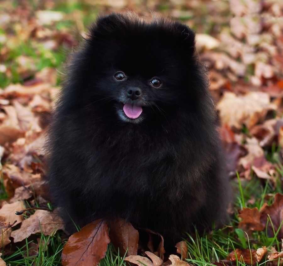 Amazing Pomeranian Brown Adorable Dog - ff59ca6c6c2d4229dd9d1f0bd7c5c9fa  2018_292085  .jpg