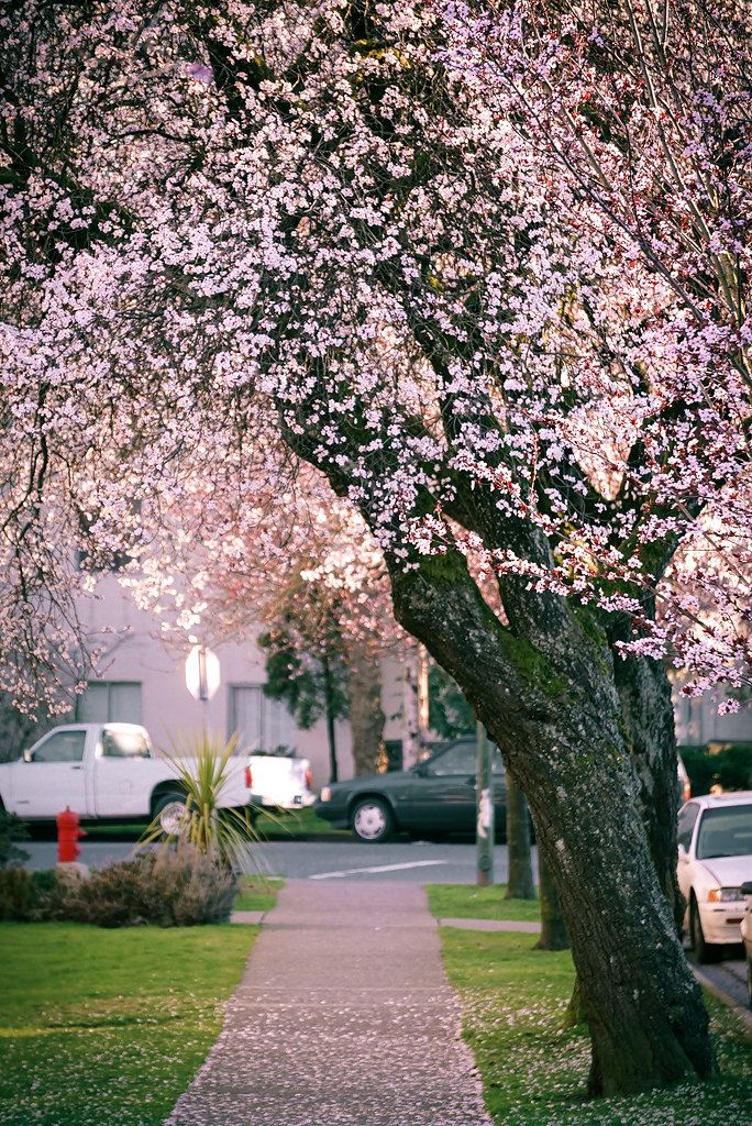 Early Cherry Blossoms Blooming In Vancouver Bc Canada Vancouver Vancouver Bc Canada Vancouver Bc