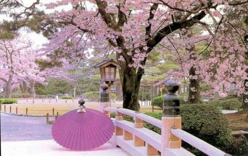 its now cherry blossom sakura season in japan and is the national flower ever since japan gave the us cherry trees back in it is celebrated every year - Japanese Garden Cherry Blossom Bridge