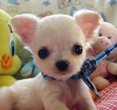 Pin By Carla Mattei On Chihuahua Chihuahua Puppies Teacup Chihuahua Puppies Chihuahua Puppies For Sale