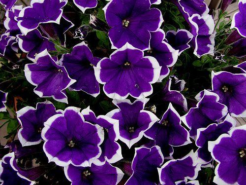 Purple And White Petunias Purple And White Flowers Purple Petunias Purple Flowers