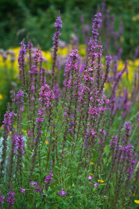 Purple loosestrife plants for a wildlife or water garden wet perennials mightylinksfo