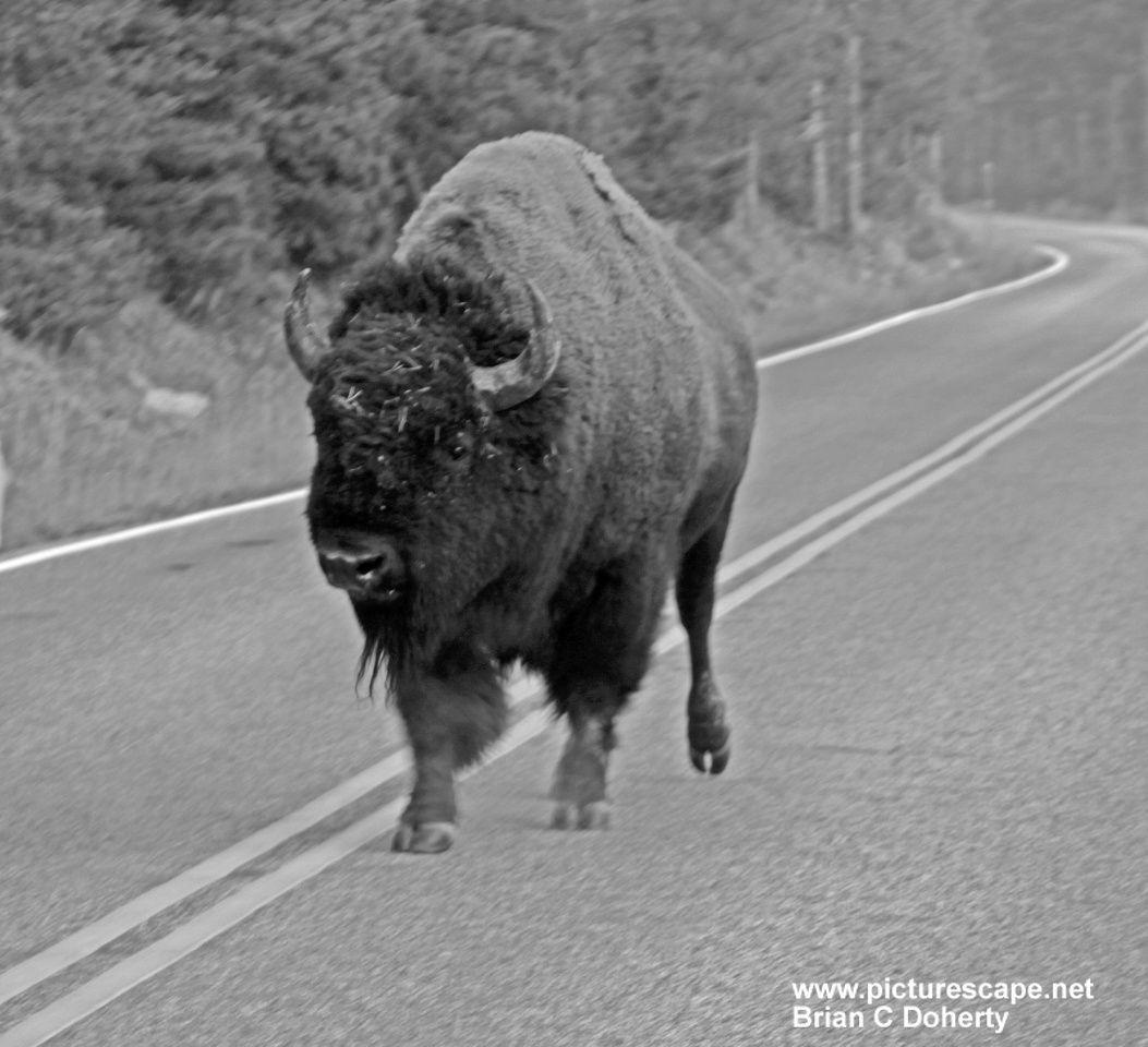 buffalo_road.jpg
