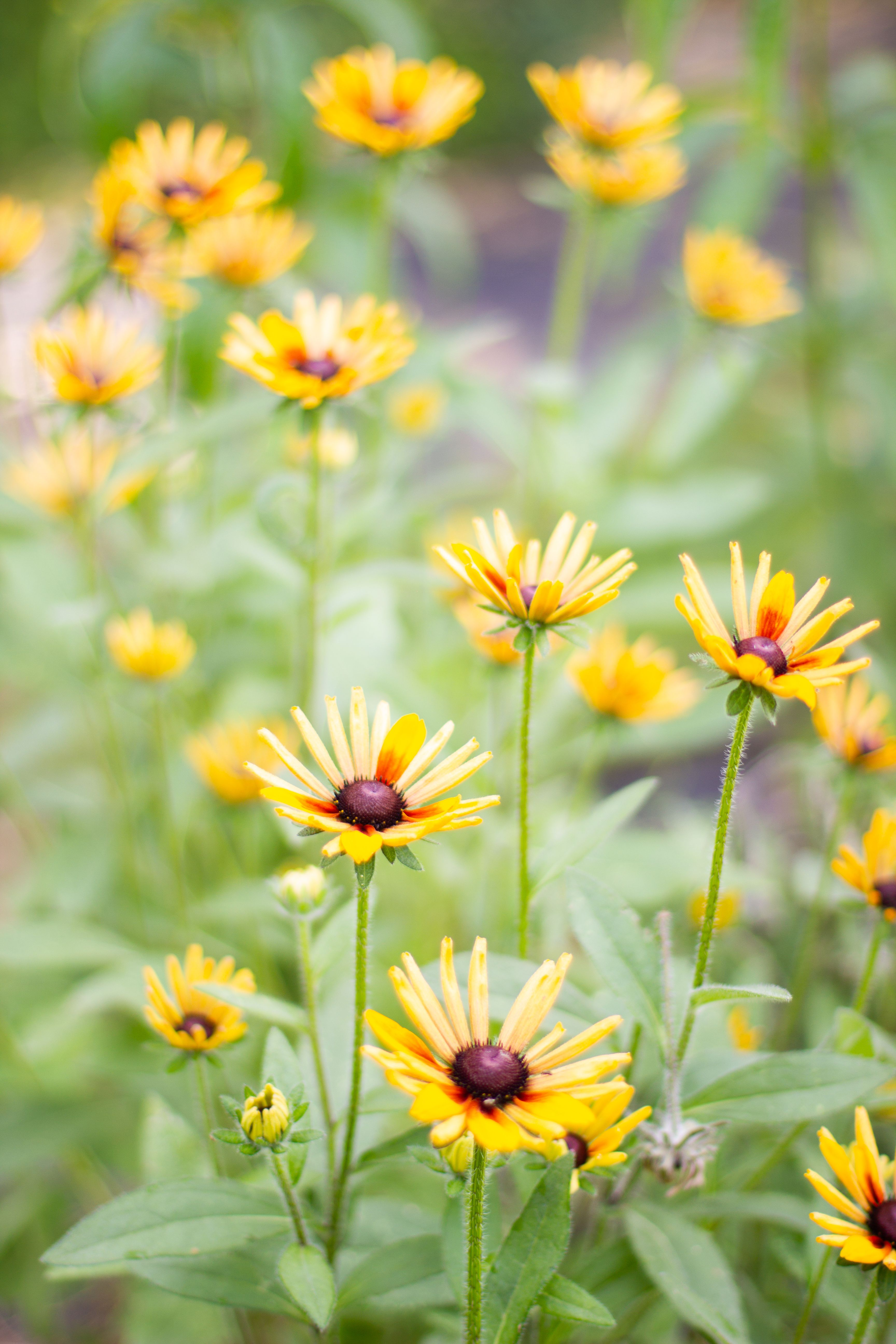 Rudbeckia 'Chim Chiminee' in 2020 Flower farm, Shade
