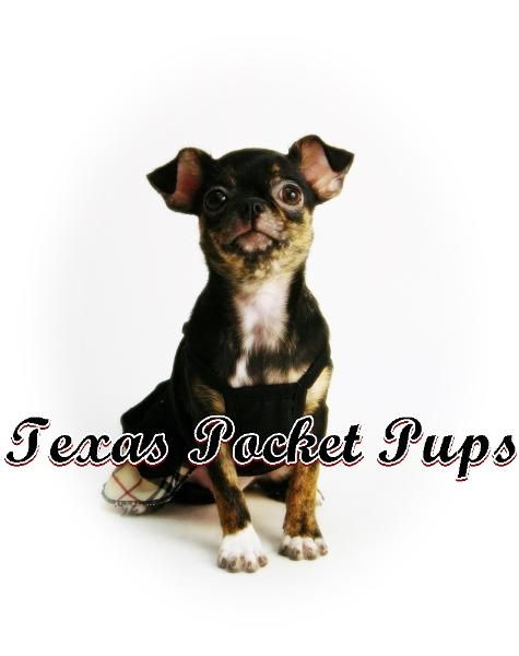 Teacup Chihuahua Puppies For Sale In Houston Texas Chihuahua