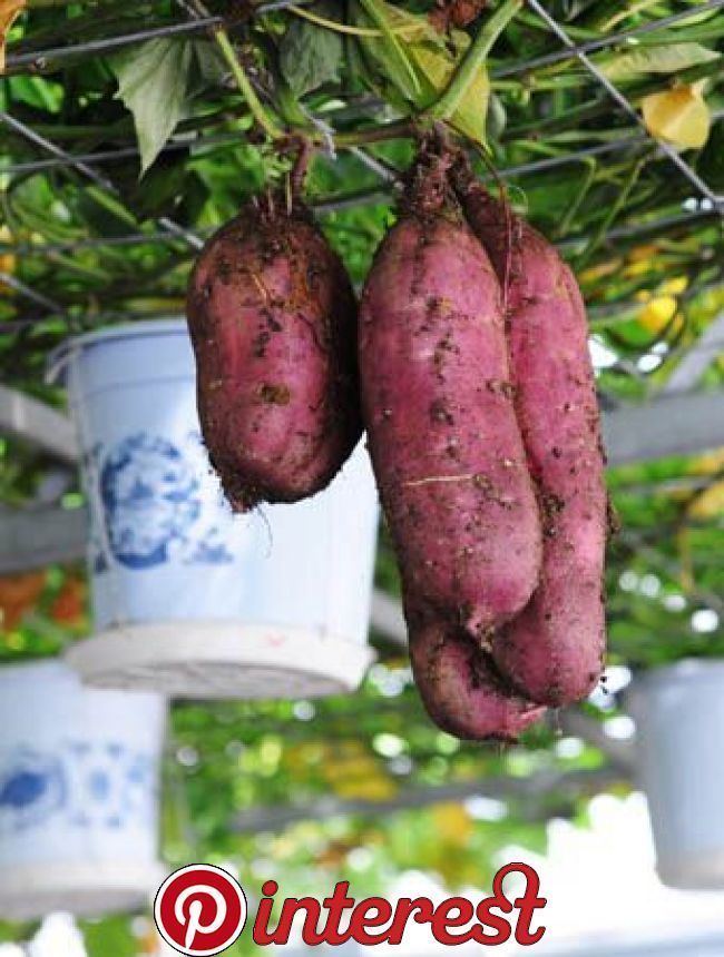 Grow sweet potatoes for shade So cool The website doesnt explain how thoughcool