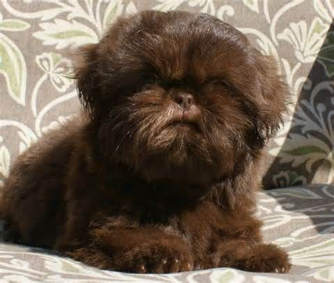 Pictures Of Adult Dark Brown Imperial Shih Tzu Bing Images