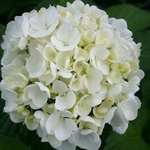 Shrubs Hydrangea At The Wairere Nursery Online Shop Hydrangea Bridal Bouquet Hydrangeas Wedding Hydrangea Bouquet Wedding