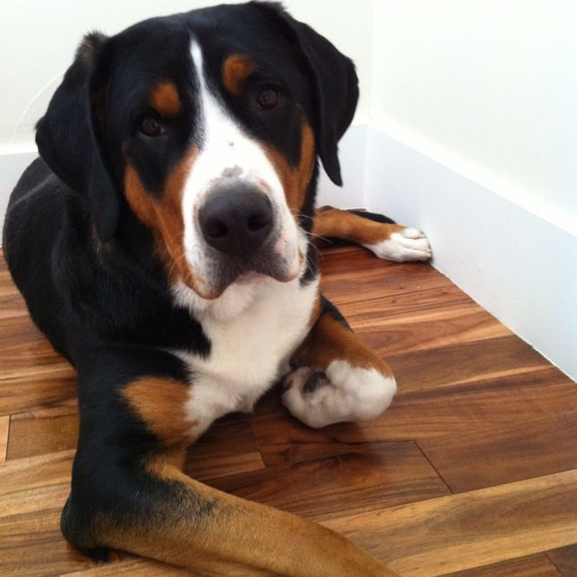 One year old female Greater Swiss Mountain Dog, this is ...
