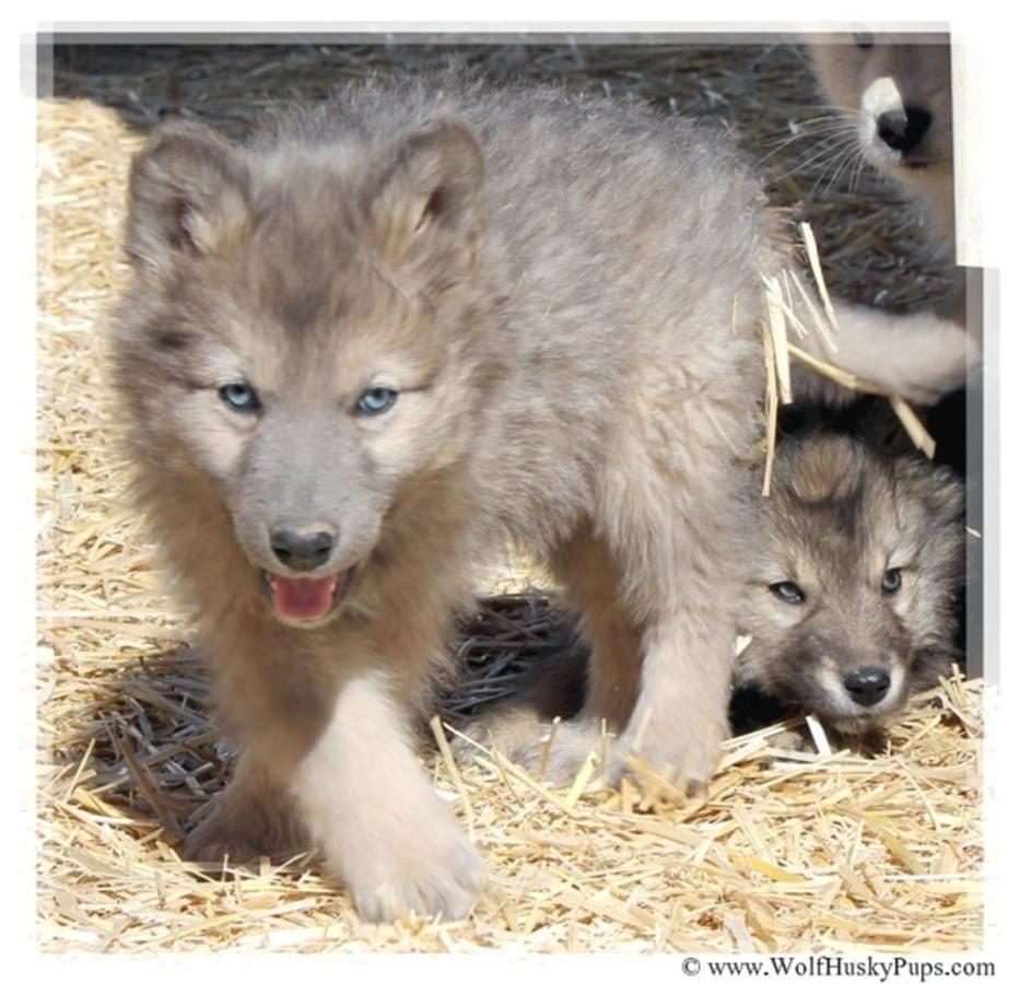 Rare Wolf Cross Puppies Wolf Puppy Wolf Hybrid Puppies