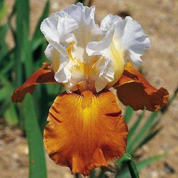 Iris Fall Fiesta Kupit Irisy Cayeux S Dostavkoj Kurerom Po Moskve I Oblasti A Takzhe Pochtoj I Ems Po Vsej Rossii Ir Irisy Korichnevye Cvety Krasivye Cvety