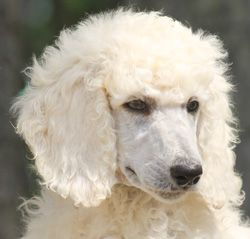 Apricot Cream Standard Poodles And Poodle Puppies For Sale