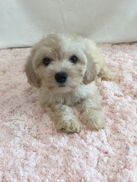 Cavapoo Puppy For Sale In Hampshire Il Adn 24309 On Puppyfinder