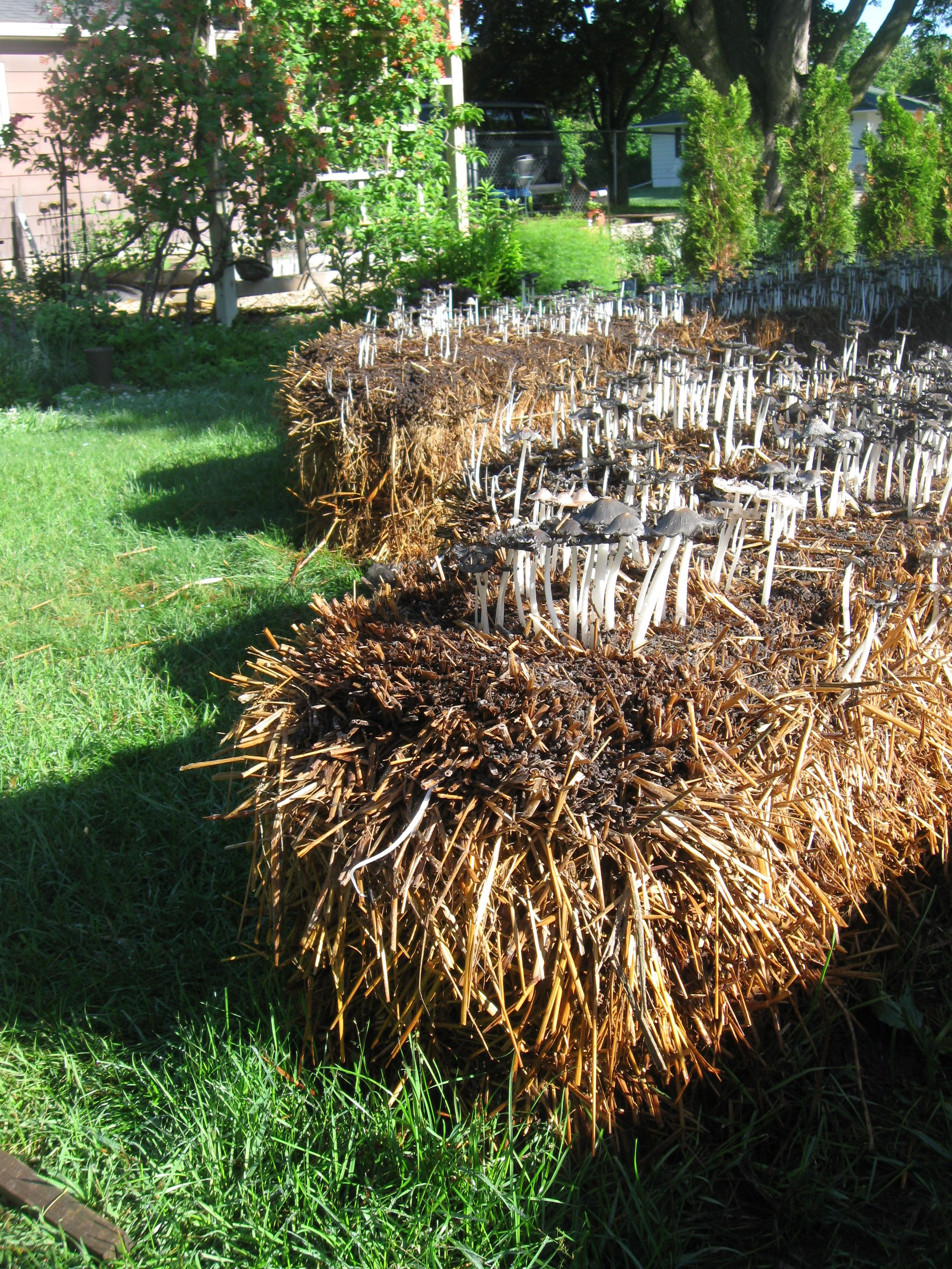 How We Conditioned Straw Bales the Organic Way | Straw bales, Hay ...
