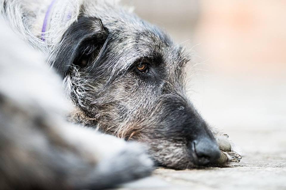 Pin By Lynne Mcalister On Freki Irish Wolfhound Wolfhound Animals