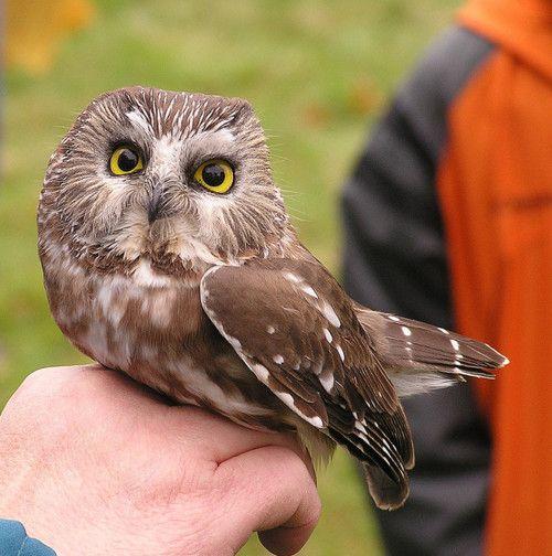 Saw Whet Owl by bucaroogal on Flickr, via Fat birds tumblr.