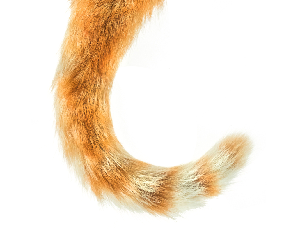 Cat Tail Isolated On White Background Cat Tail Cat Background Cats