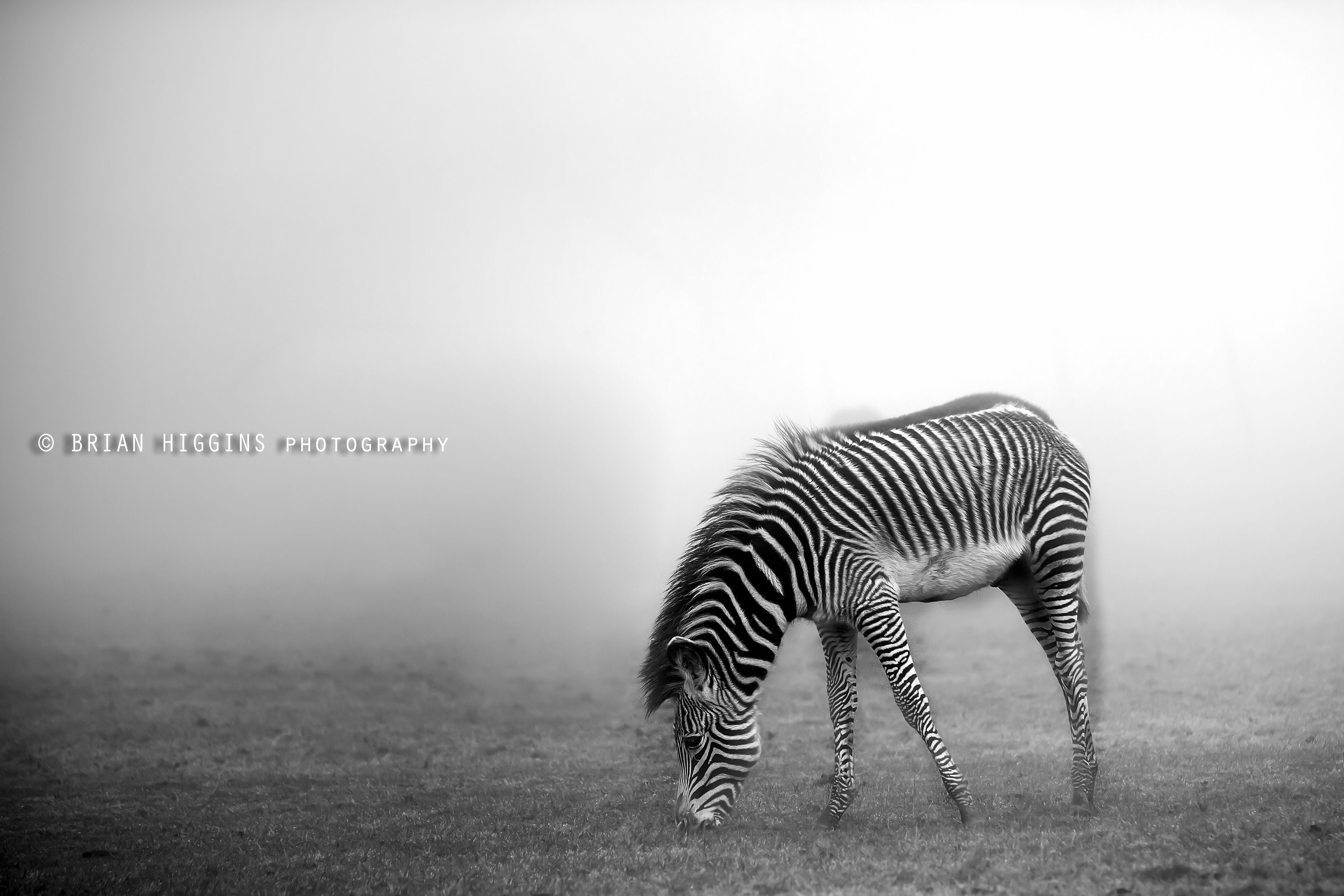 A lone Zebra in the mist of Whipsnade Zoo, Dunstable, Bedfordshire  www.brianhigginsphotography.com