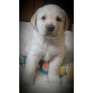 Akc Silver Charcoal Chocolate Black Yellow Ivory Labrador