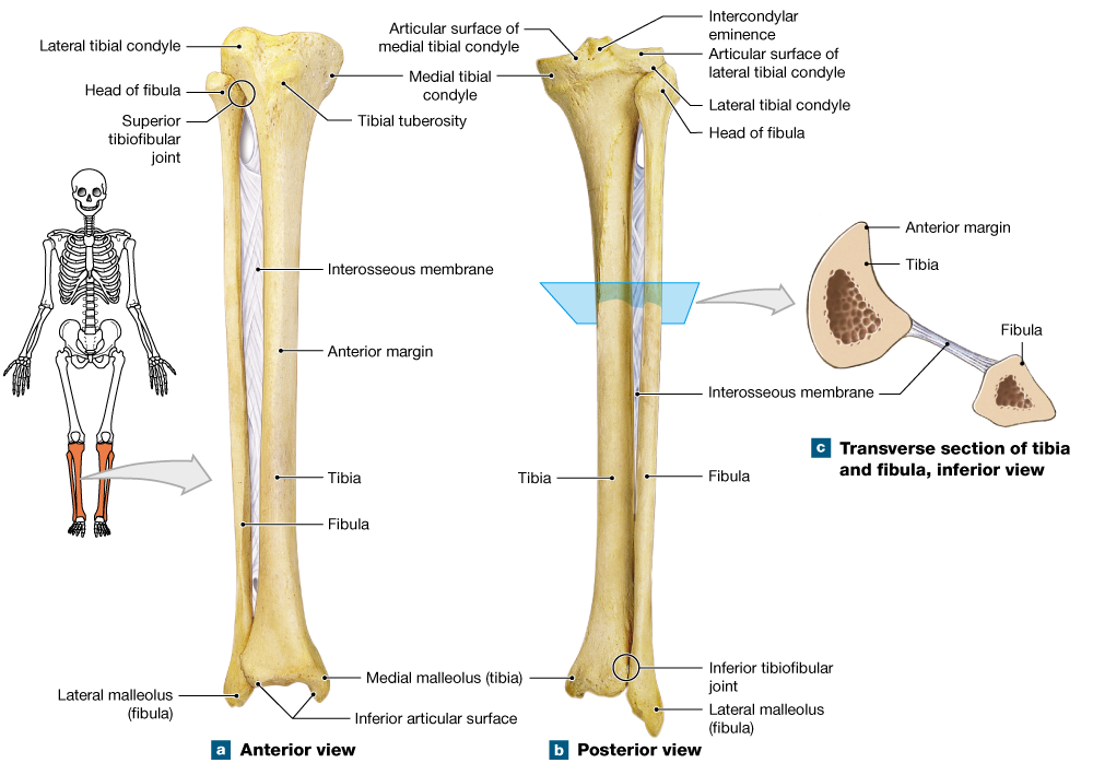 8 4 The Bones Of The Lower Limbs Are Adapted For Movement And Support Human Skeleton Anatomy Body Anatomy Nursing Math