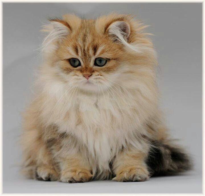 Chinchilla Cat For Sale Nz