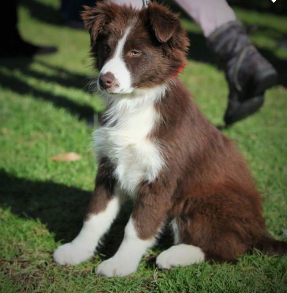 Collie Your Dog Dog Leash Training Collie Puppies