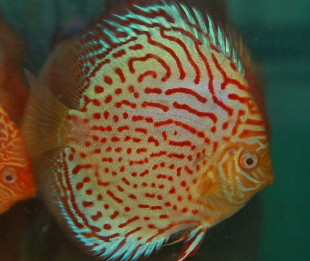 Spotted Royal Pigeon Discus Fish 2 5 Inch Discus Fish Discus Fish