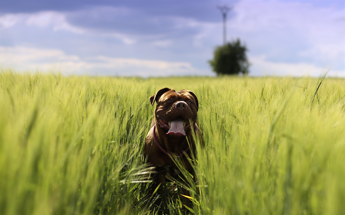 Download wallpapers French mastiff, 4k, wheat field, pets