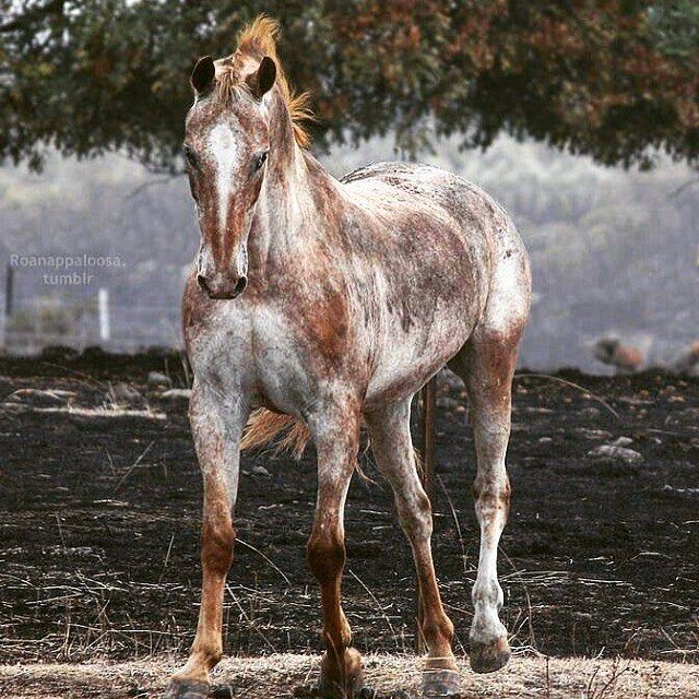VARNISH RED ROAN APPALOOSA WOW! trying to find a name