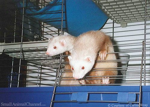 Ferret Safety Around Stairs Small Pet Supplies Small Pets Best Small Pets